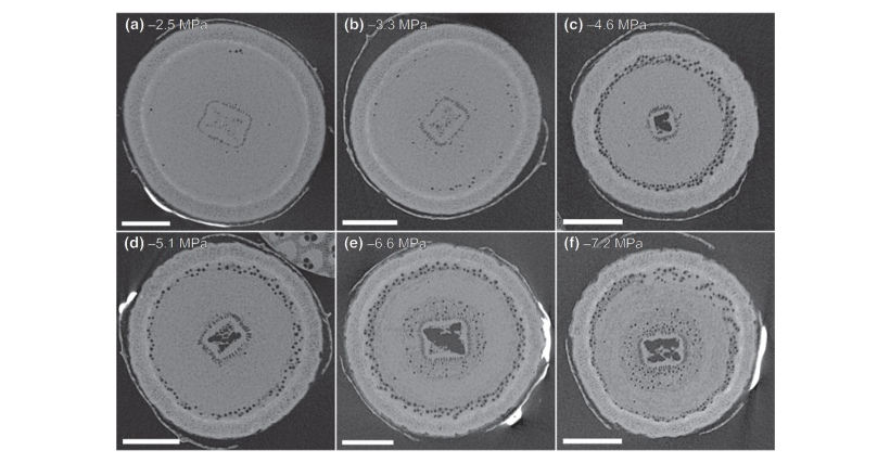 X-ray microtomography (microCT) cross sections (initial scan) of Eucalyptus camaldulensis stems at increasingly negative water potentials illustrate the spread of embolism (air-filled vessels, dark circles) under drought stress.
